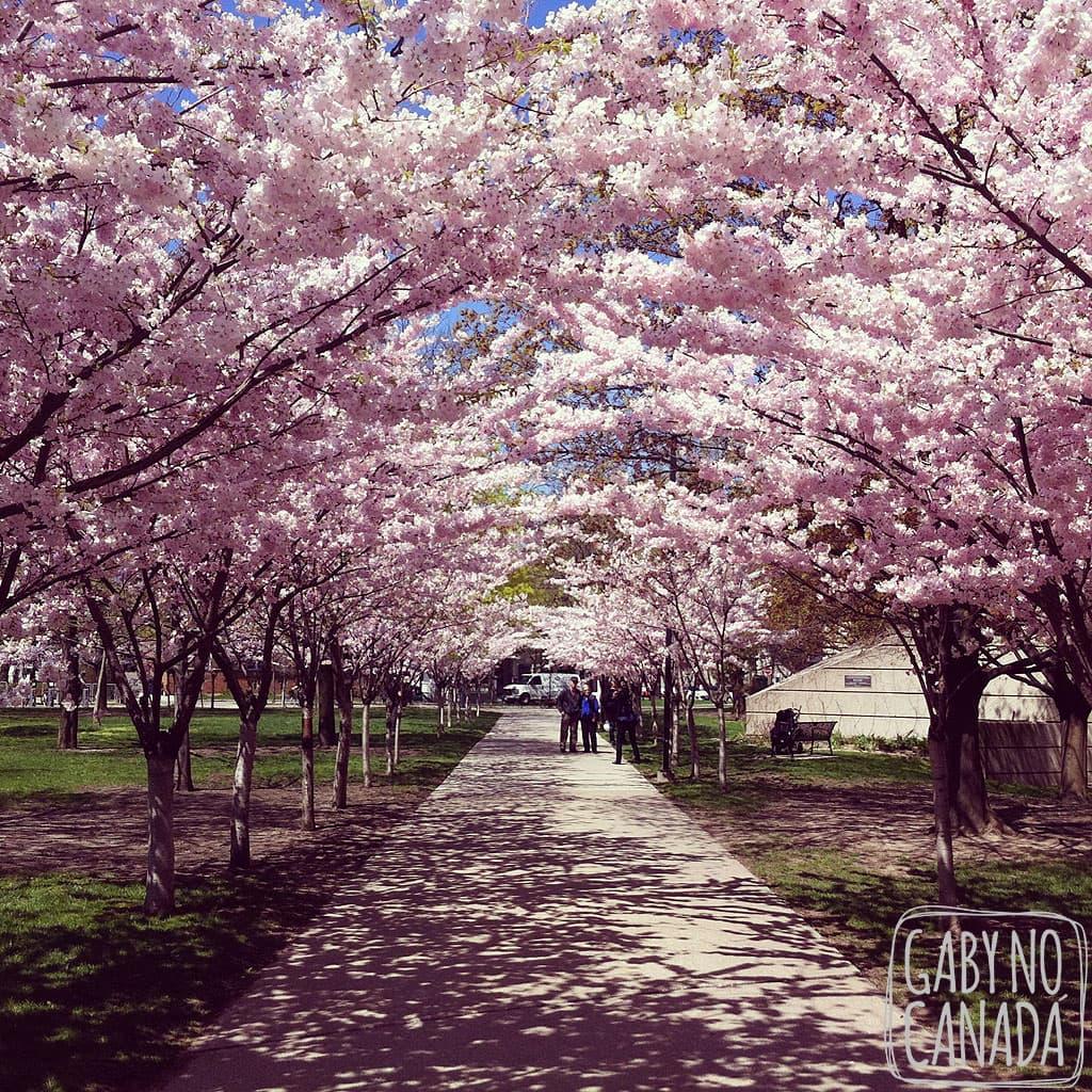 CherryBlossomsUofT_gabynocanada